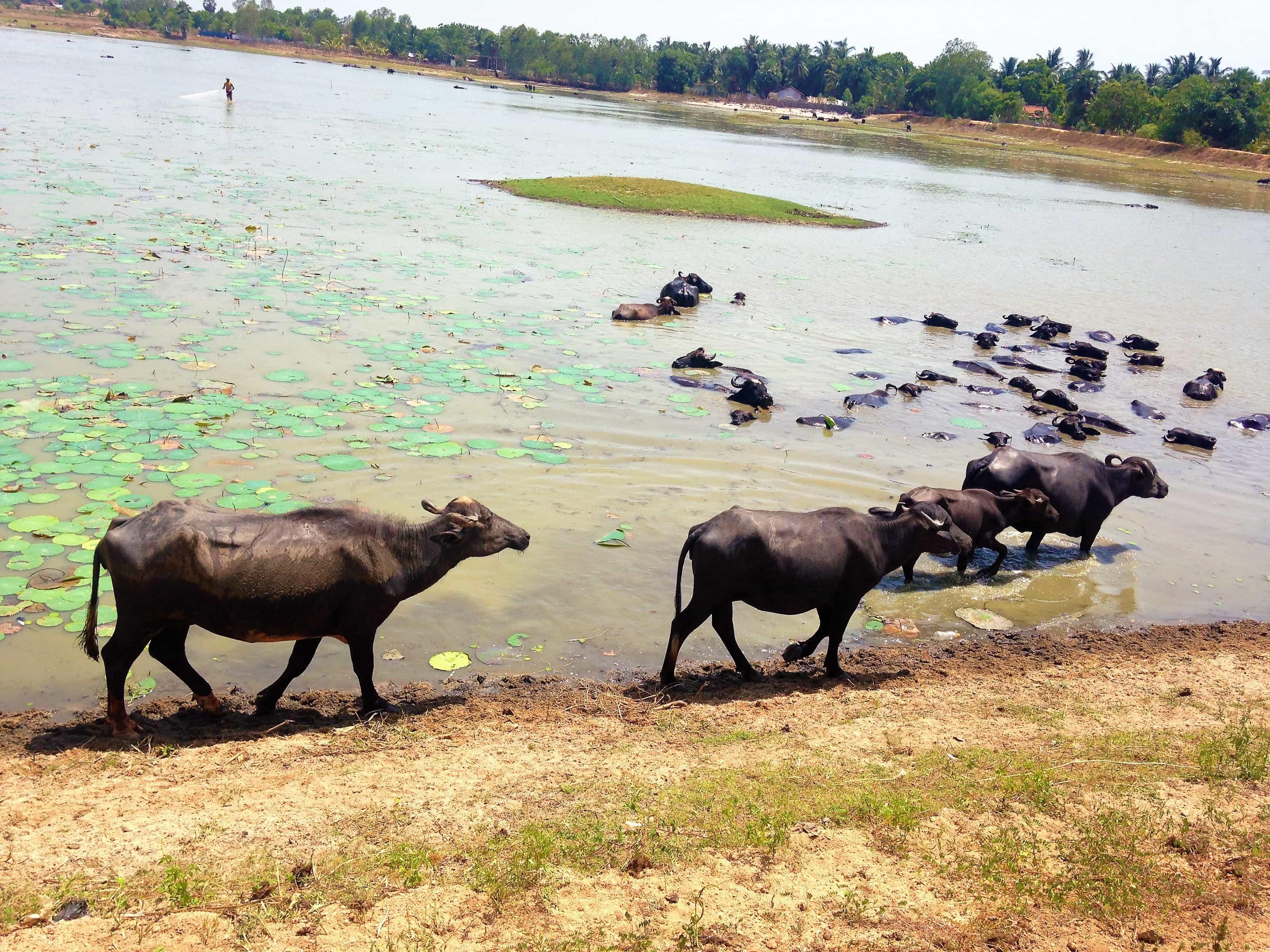 animaux-sri-lankais
